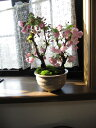2021年4月開花桜盆栽八重桜盆栽盆栽信楽鉢入り自宅で春にお