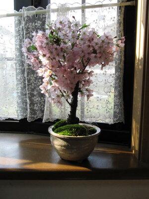 盆栽御殿場桜盆栽桜盆栽信楽鉢入りちなみに海外でもBONSAIボンサイと言います。玄関を彩る春の花御殿場桜でお花見しよう