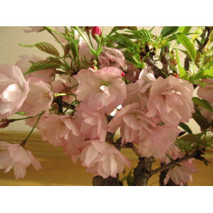 Flowering in April 2020 [Sakura Bonsai] Sakura Bonsai Double cherry blossoms bloom like this Sakura row of trees Cherry blossoms in a row, cherry blossoms, bonsai, festive cherry blossoms, bonsai