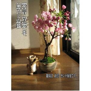 2020年4月頃開花桜盆栽盆栽桜桜盆栽 四月にこんな感じでサクラのお花が見れます。 桜盆栽 入学 卒業のお祝い桜 花芽付の桜盆栽となります。