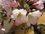自宅でさくらのお花見を2021年4月頃開花桜盆栽【鉢花】御殿場桜盆栽花が咲く春 こんな感じで 開花します。盆栽桜盆栽殿場桜信楽鉢入り 自宅で身近に楽しむ桜盆栽さくら盆栽で お花見ができます桜満開ギフト春に咲く桜盆栽です。自宅でも桜が見れます。