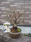 冬至梅盆栽 2021年2月末頃開花予定盆栽: 白梅盆栽梅盆栽 開花の梅花も香りもすばらしいです。  ちなみに海外でも BONSAI ボンサイと言います。 玄関を彩る梅の花  白梅