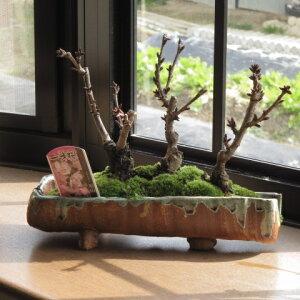 桜盆栽お祝いサクラ盆栽盆栽桜桜並木桜盆栽春には桜でお祝いのお花見信楽鉢入り送料無料海外でもBONSAUIボンサイといいます。