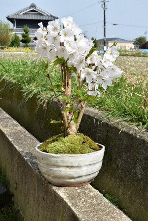 2018年開花予定ソメイヨシノ盆栽サクラといえば染井吉野サクラです