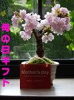 母の日ギフトに2021年5月開花さくら盆栽を育てて来年のお花見を楽しめます八重桜盆栽プレゼントにもおすすめです大切な人へのプレゼントにもおすすめミニ盆栽です自宅で楽しむ盆栽