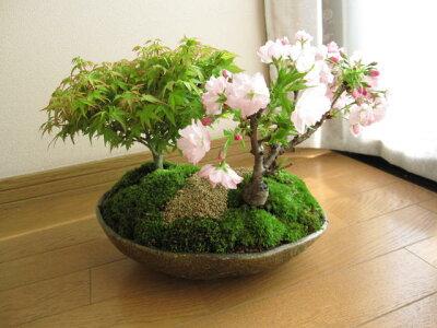 桜盆栽桜寄せ植え彩り盆栽ボンサイ桜桜ともみじ盆栽信楽鉢入り送料無料