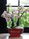 【5月からは葉桜でお届け】自宅でさくらのお花見ギフト2021