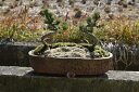 五葉松盆栽 ツイン松盆栽  現品となります