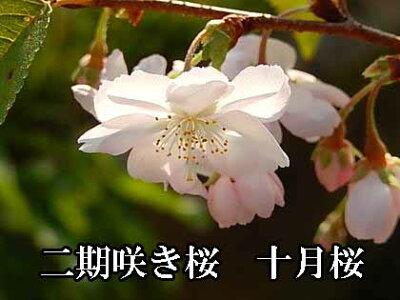 2018年開花予定十月さくら盆栽さくら鉢植え【十月桜】桜盆栽十月桜秋と春に2回開花するさくらです