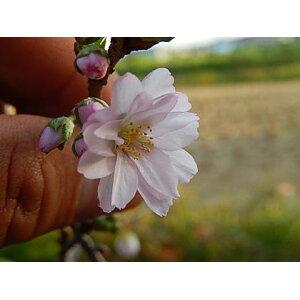 मिनी बोनसाई अक्टूबर सकुरा बोनसाई सकुरा पॉट्ड प्लांट [अक्टूबर सकुरा] सकुरा बोनसाई अक्टूबर चेरी दो बार शरद ऋतु और वसंत सकुरा में खिलता है
