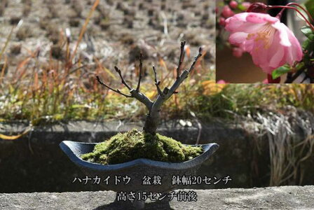 2018年開花予定盆栽スイシ海棠ハナカイドウサクラ盆栽