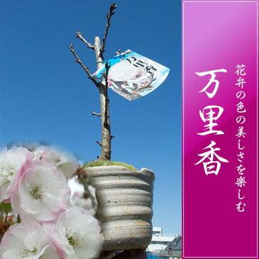 万里桜盆栽【桜盆栽】 におい桜
