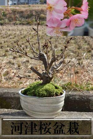 鉢花桜【河津桜】河津さくら信楽鉢入り2016年3月26日今季開花終了しました