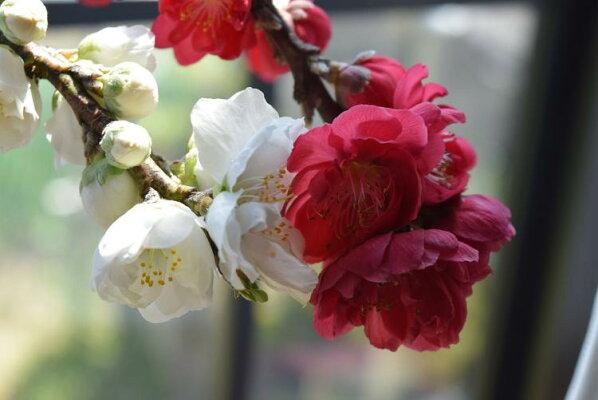 2018年3月末頃〜4月頃に開花しだれ桃お祝いに南京桃しだれ桃縁起の良い桃の木【鉢植え】【南京桃しだれ桃】【桃】二色〜三色桃の花桃は古来より災いを除き、福をもたらすと言われています。そんな縁起木の桃の鉢植え