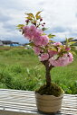 2021年4月中頃開花予定 桜盆栽 関山桜 八重桜盆栽