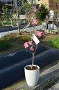 育てて咲かすハナミズキ鉢植えチェロキーサンセットアカハナ花水木ハナミズキチェロキーサンセット