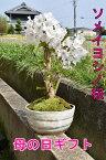 今季開花終了葉桜です自宅でお花見桜盆栽2021年4月のお届けは開花終了葉桜でのお届けソメイヨシノ盆栽サクラといえば染井吉野サクラの盆栽です