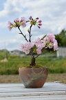 お誕生日の鉢花に2021年これで今年はお花見しよう【八重桜盆栽】サクラ盆栽 自宅でお花見 桜 盆栽 自宅でお花見 さくら盆栽の桜ベランダでもリビングでも桜を見る盆栽