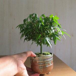 Gifts Maple bonsai Mini bonsai: [Kiyohime Momiji] [Maple] [Gift] [Bonsai] [Autumn leaves] [Mini Bonsai] [Gift] Spring fresh green maple leaves very beautiful