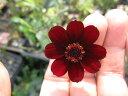 信楽小鉢入りショコラコスモス かわいいお花の鉢植え