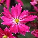 花弁が多く、花の数も多い大文字草ですダイモンジ草大文字草静御前9cmポ...
