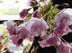 桜盆栽【鉢花】 御殿場桜盆栽花が咲く こんな感じで 開花します。盆栽桜盆栽信楽コップ付で お花見で乾杯も楽しめます  お届けは葉桜盆栽となります。