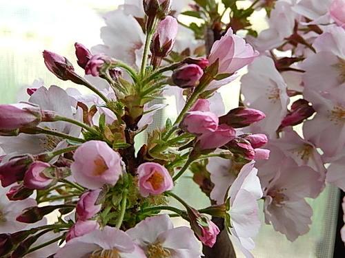 桜盆栽お祝いの贈り物にサクラ盆栽桜並木桜盆栽お祝い桜盆栽信楽鉢入り送料無料海外でもBONSAUIボンサイといいます。