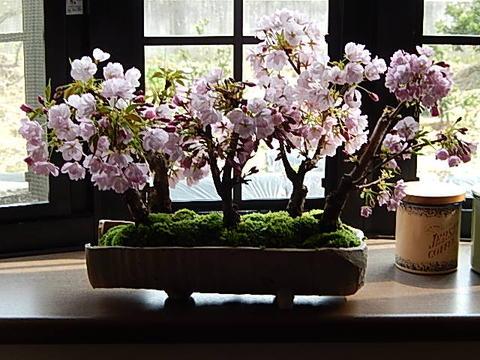 盆栽:桜並木桜盆栽お祝い桜盆栽信楽鉢入り送料無料