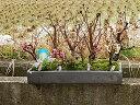 2021年4月に開花盆栽桜の方舟桜盆栽幸福 梅桜寄せ植え盆栽