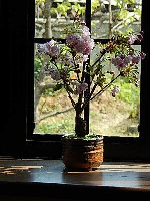 桜盆栽4月に開花八重桜盆栽桜で自宅でお花見ミニ盆栽桜リビングでもお花見ができるさくら盆栽八重桜盆栽2019年4月に開花します