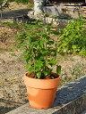 あじさい苗おすすめアジサイアナベル鉢植え開花が楽しみなアナベル2017年開花6月開花予定のアナベルアジサイ白あじさい鉢植え 当店おすすめの紫陽花です