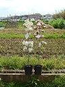 植樹には2020年4月に開花のハナミズキ苗ピンクのハナミズキジュニアミス当店 おすすめ花水木シンボルツリー   ハナミズキピンク花クラウドナインハナミズキ 2色セット