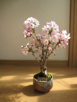 2018年4月に開花予定雨の日でも自宅でお花見桜盆栽お祝い事のプレゼントに桜盆栽4月頃〜開花します。ミニ桜盆栽殿場桜信楽鉢入り御殿場桜盆栽海外でもBONSAIボンサイと言います。