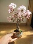 父の日ギフト桜盆栽育てて来年さくらのお花見が楽しめます 御殿場桜盆栽