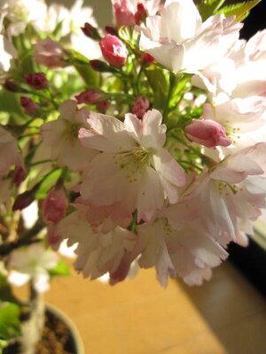 鉢花桜盆栽桜の盛り合わせ3種類のサクラのお花がこの一鉢で楽しめます。豪華桜3種桜寄せ植え桜盆栽送料無料海外でもBONSAIボンサイと言います。