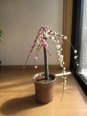 これぞ 枝垂れ梅盆栽冬の贈り物にも最適手作り 信楽鉢入り紅白共に八重咲きです2012年 香り...