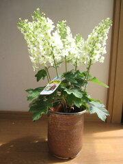 純白の密できれいな円錐状花序。 人気紫陽花 秋の葉の紅葉も綺麗です。山アジサイ 【紫陽花の...