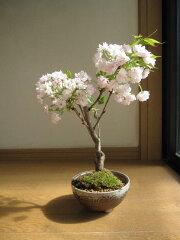 桜盆栽 2016年4月末頃開花桜 盆栽 楊貴妃桜盆栽八重咲桜盆栽信楽鉢入り 桜盆栽海外でも BONSAI ボンサイと言います。 八重桜盆栽