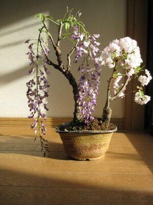 送料無料春には綺麗なお花を二つ藤盆栽桜盆栽寄せ植え藤と桜寄せ植え盆栽信楽鉢入りボンサイ