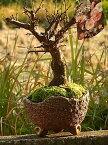 新春盆栽咲き分け梅梅盆栽2020年2月〜3月開花 咲き分け 思いのまま梅信楽焼き入り想いののまま梅