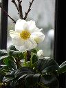 2020年12月開花予定クリスマスローズ寄せ植え桜盆栽プレゼントに【クリスマスローズ開花株】クリスマスローズ 3