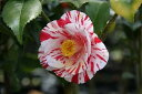 白地に濃紅色の縦絞が入る八重咲きツバキつばき苗絵日傘椿 ツバキ絵日傘