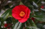 接ぎ木椿庭木友好の光椿 ツバキ愛知県佐藤椿園で丹精込めて 育てられた椿の苗です。