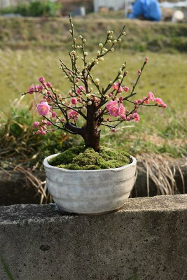 梅盆栽【盆栽】信楽焼き入り紅白梅盆栽