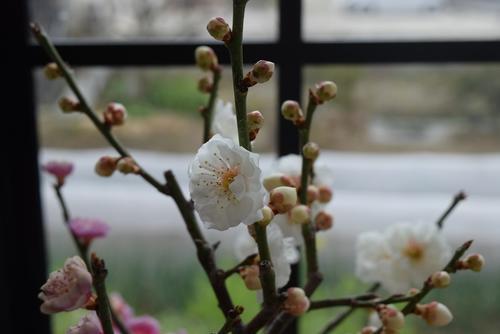 おめでたい八重紅白梅盆栽2018年開花2月中頃開花梅盆栽【盆栽】信楽焼き入り紅白梅盆栽