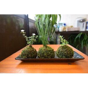 Moss ball bonsai set Moss ball set