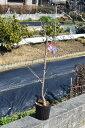記念の植樹にソメイヨシノ桜 故郷を桜で美しく 桜の苗 【染井吉野桜】庭木桜 ソメ