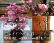 ★サクラ★ハナカイドウ桜桜盆栽盆栽:花海棠桜  ハナカイドウ桜盆栽2017年春開花の桜盆栽となります。