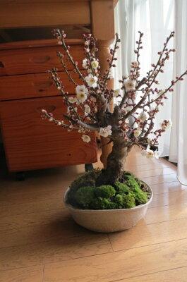白梅盆栽梅盆栽【盆栽】信楽焼き入り白梅盆栽2013年2月17日こちらの現品をお届けいたします。