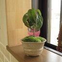 ギフト2020年開花予定花芽付【鉢花】ハナミズキ ピンク花花水木 【ハナミズキ 鉢植え】 高さ15センチのミニサイズの かわいいサイズです。